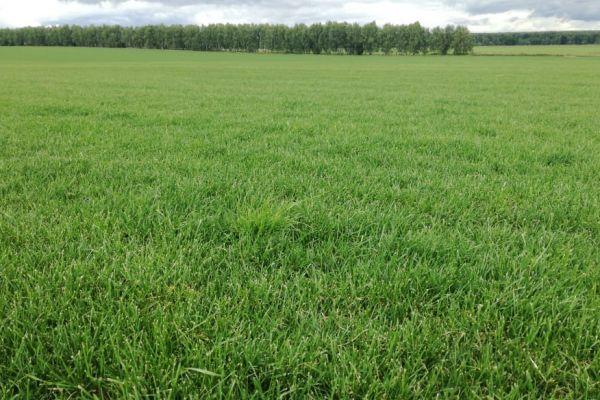 Выращиваемый газон