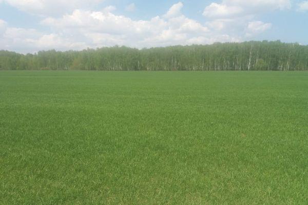 Рулонный газон на полях